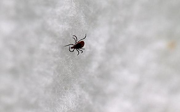 A tick collected on field trip led by University of Rhode Island professor Thomas Mather, a tick-borne disease expert.